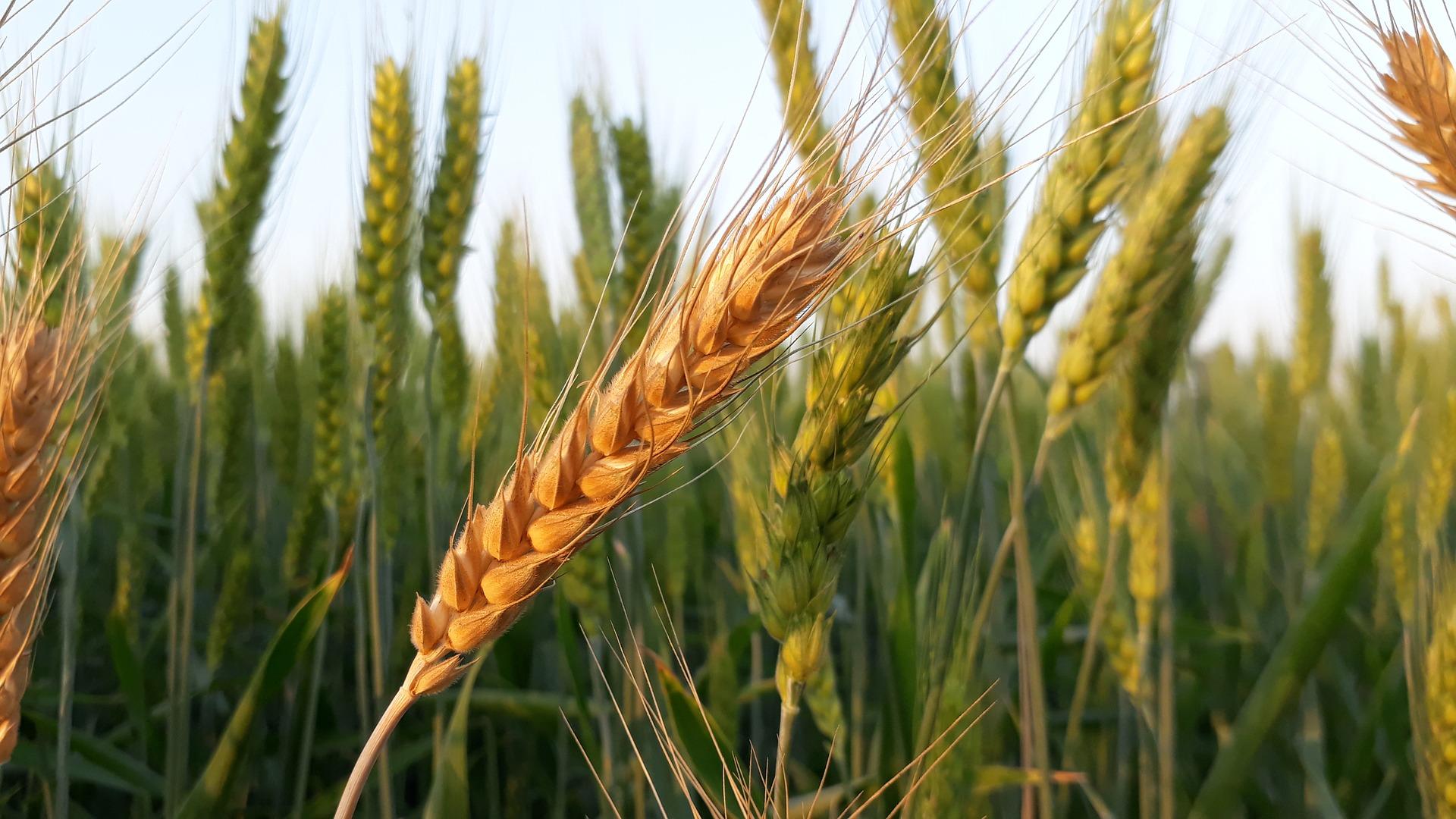 wheat-3223040_1920